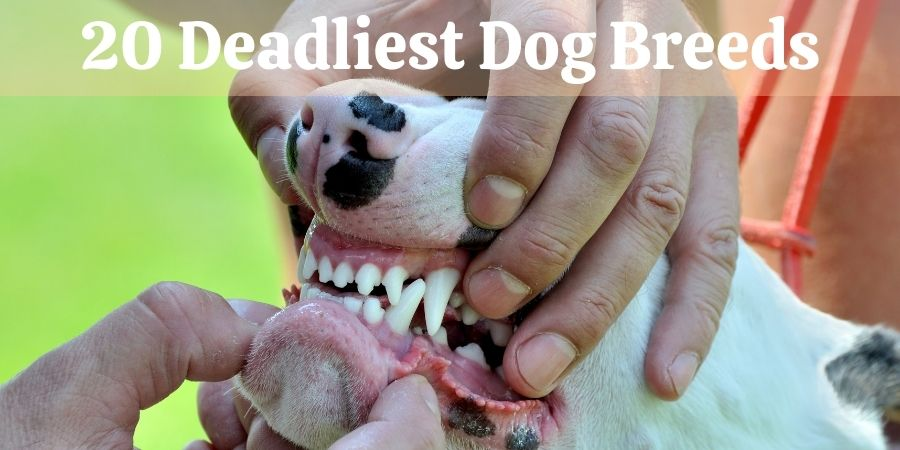 20 Deadliest Dog Breeds
